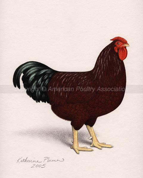 Chicken Poultry Art Drawings Large Rose Comb Rhode Island